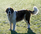 Saint Bernard Females